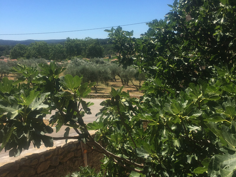 View across the fig orchard
